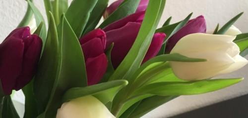 tulips-702x336